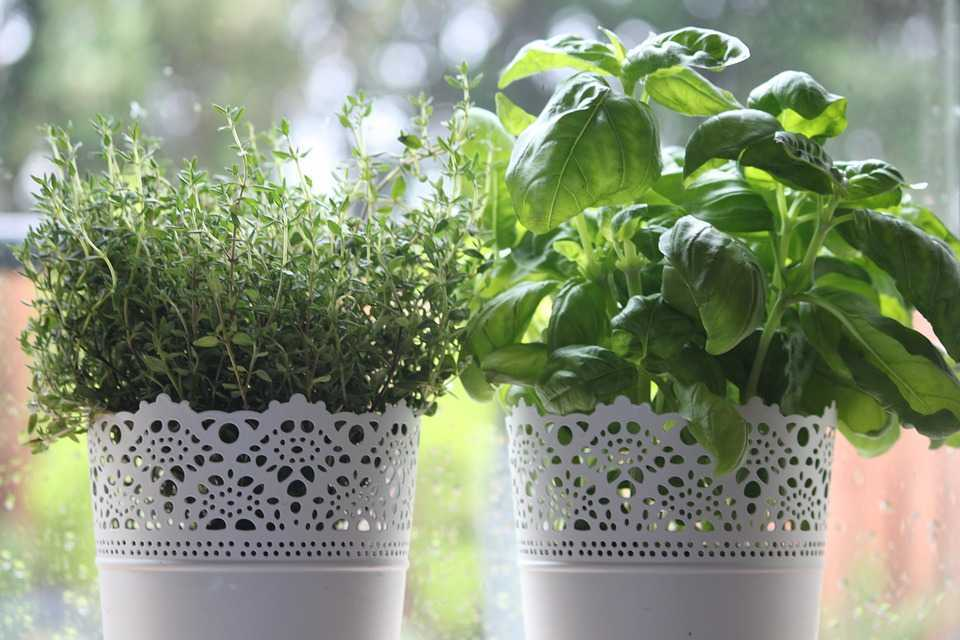 plant and harvest your herbs
