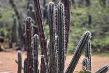 photos of cactus plants